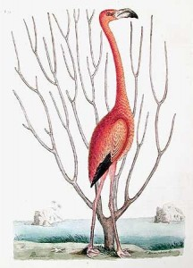 "Mark Catesby, ""Flamingo"", 1731."
