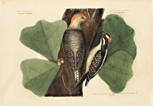 "Mark Catesby, ""Red Bellied Woodpecker"", 1731."