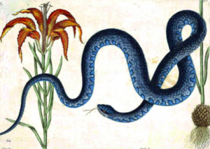 "Mark Catesby, ""Wampum Snake with Lily"", 1740."
