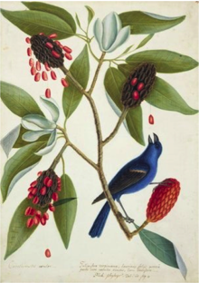 "Mark Catesby, ""A Blue Grosbeak and Sweet Bay"", 1728."