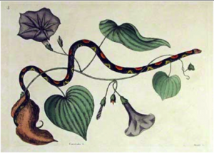 "Mark Catesby, ""Bead Snake with Sweet Potato"", 1731."