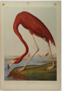 "John James Audubon, ""American Flamingo"", 1861."