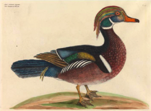 "Mark Catesby, ""Summer Duck"", 1731."