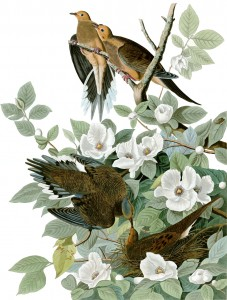 "John James Audubon, ""Mourning Dove"", 1827."